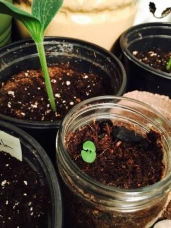 basil growing