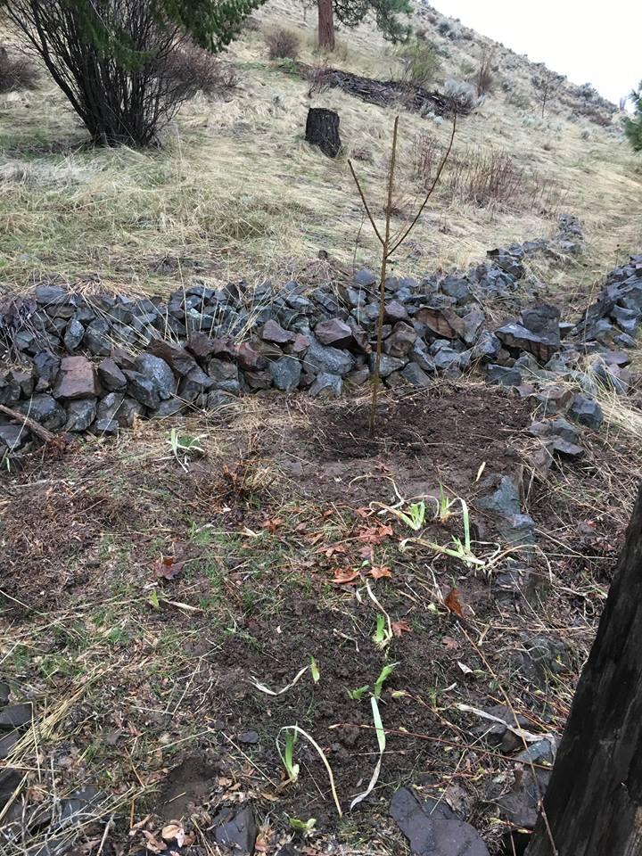 pluot flowerbed